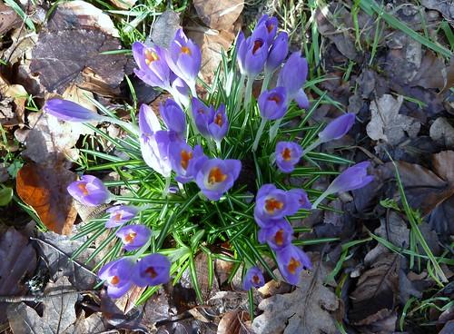 Spring Crocus at Greenbank