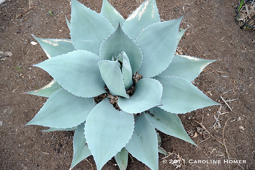 Freeze damage on agave