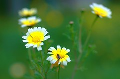 Daisies (digifancanon) Tags: street flowers wild green nature colors yellow digital canon bug insect evening fly spring blossom bokeh daisy     ef85mm12l