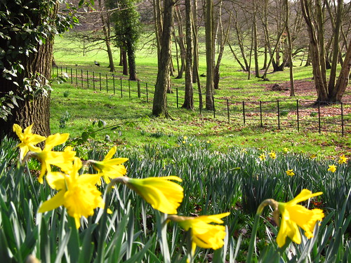 Daffodils in Hampstead Heath