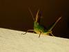 Saltamonte #3 (iohandesign) Tags: insectos nature fuji bugs fujifilm bichos s200 grashopper grasshoper erx saltamonte tucura