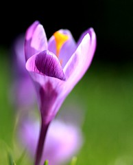 Crocus vernus/Dutch crocus/Spring crocus, Giant Dutch crocus ({deepapraveen very busy with work..back soon) Tags: light india news love fun hope spring friend friendship faith dream crocus romance environment deepa springshots springflower ornamentalplants crocusvernus earlyspringflowers savenature savemotherearth inspirationalquotes ladyphotographer ilovekerala easterimages keralaphotographer photoeastercard deepapraveen deepaphoto deepaphotography deepaphotos deepapraveenphotography photoswithquote deepasbestphotos iamfromkerala springflowerphotos bestspringphotosoftheworld bestindianladyphotographer ilovekeralam deepaimages photoeastergreetingcard easterwallpaper2011 greetingseaster2011 eastergreetings2011 freeeastergreetingcards2011 easter2011images beautifuleastergreetingcards newyeargreetings2012 creativeegreetingcard2012 greetingcard2012 newyeargreetingcard2012 happyvalentinesday2012 valentinesdaygreetingscard2012 easter2013 happynewyear2013 happychristmas2013 eastergreetingcard2013 50shadesofgreyinpictures newyeargreetings2013 newyeargreetingscard2013happyxmas2013christmasgreetingcard2013