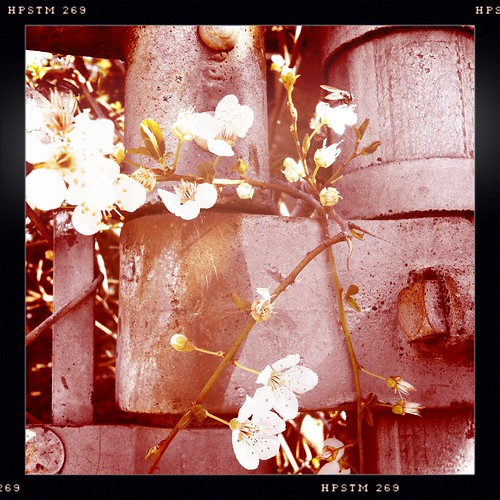 cherry blossoms growing through the metal