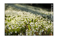 Sea of White (Winterspeak) Tags: wood uk flowers winter light england plants sun white plant flower green english leaves sunshine horizontal gardens backlight woodland garden landscape carpet petals woods flora europe afternoon open britain united great seasonal kingdom sunny cotswolds gloucestershire petal fallen single gb snowdrops flowering backlit february rococo snowdrop painswick backlighting masses galanthus glos cotswold wintery naturalized 2011 carpeted naturalised