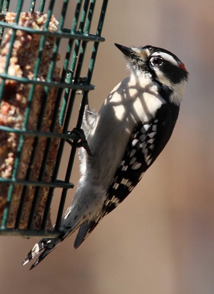 Downey Woodpecker, male