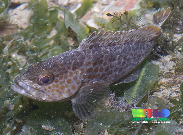 Orange-spotted grouper (Epinephelus coioides)