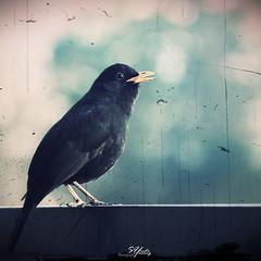 Blackbird ?? [I]