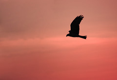 "Homeward bound (""The Wanderer's Eye Photography"") Tags: pink sunset sky india kite slr birds silhouette canon photography eos evening photos dusk bangalore blackkite dslr canon450d rebelxsi rubenalexander thewandererseye"