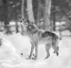 Speak Up - Explored - D & E Grey Wolf Photography