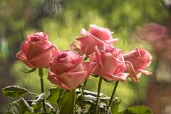 Roses for you (Anna.Andres) Tags: roses anna 350d iceland searchthebest canoneos350d ísland fleursetpaysages annaguðmundsdóttir
