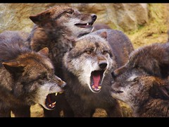 -COMMUNICATION- (Little♥Krawler) Tags: nature animal wolf dof natur communication wolves tier wölfe calmingsignals