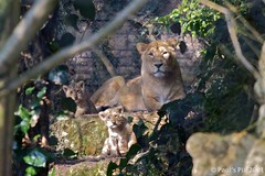 """Look Children, the nice man's taking your photograph"" (Canonpauls) Tags: female is leo lion cubs usm shiva lioness asiatic bristolzoo panthera ef70200mm asiaticlion criticallyendangered f28l pantheraleopersica persica"