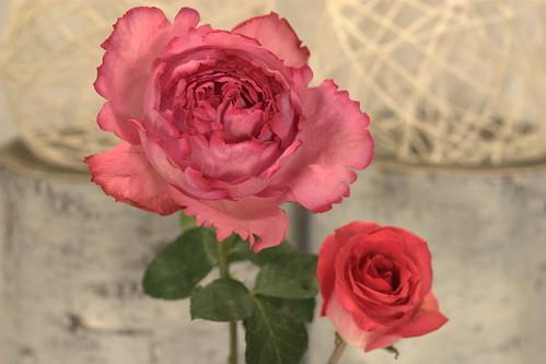 Garden rose compared to Ecuadorian Rose
