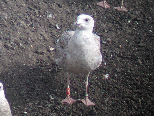Herring Gull - RED [H522] / white