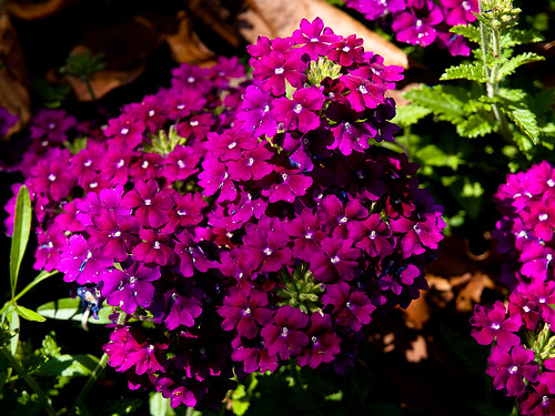 Purple flowers in the garden