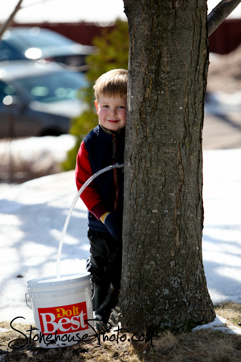 Tapping for maple syrup in Bayfield