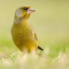 Greenfinch (Chloris chloris) (m. geven) Tags: man male green bird nature animal fauna groen feeding feathers natuur ground veer perched ontheground common dier oiseau greenfinch avian carduelischloris vogel oiseaux frontview songbird avifauna gelderland algemeen grond fringillidae vooraanzicht foraging winterplumage nld veren jaarvogel pluim verdier zangvogel wintering groenling grnling chlorischloris gardenbird drooggras tuinvogel winterkleed overwinteren lowpointofview wintergast largebill fourageren laagstandpunt opdegrond vinkachtige algemenebroedvogel gemeentemontferland foerageren parkvogel talrijk kegelsnavel annualbird nederlandthenetherlandsniederlande grotesnavel