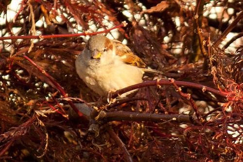 Connecticut sparrows  -32.jpg