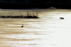 Coyote in the sun DSC_5987 (Mully410 * Images) Tags: coyote sunset dog birds geese birding sunsets goose fowl birdwatching birder k9 gander burder tcaap ahats twincitiesarmyammunitionplant tcaapwva ardenhillsarmytrainingsite