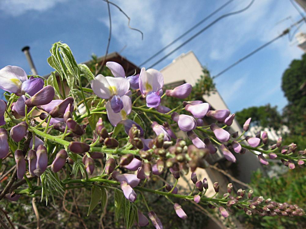 19-03-2011-flower-lilac