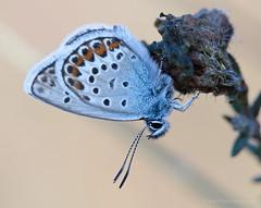 Silver-studded blue (Kees Waterlander) Tags: macro nederland peat veen moor bog arthropoda drenthe moorland arthropod plebejusargus silverstuddedblue bargerveen heideblauwtje theneterlands geleedpotigen hoogveen