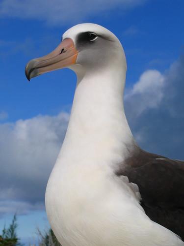 [フリー画像] 動物, 鳥類, 鳥類(その他), コアホウドリ, 201103300500