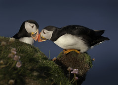 Bonding Puffins (Mike Ashton) Tags: sea coast scotland pair together puffin shetland partners birdfeatherbeakavian