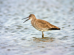 Willet (Kevin Click) Tags: texas willet searimstatepark sabinepass canonxsi