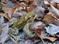 migrating bird, ...aeh... toad (*benjamin*) Tags: germany saxony rathen saxonswitzerland
