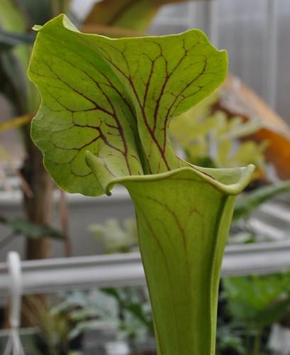 Sarracenia 'Doreen's Colossus'