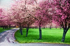 Dreamy Driveway (Darrell Wyatt) Tags: pink color rain reflections washington spring blossoms cherryblossoms puddles northbonneville