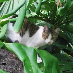 Key West (Florida) November 2010 0575b sq (edgarandron - Busy!) Tags: cats cat keys florida kitty kitties keywest hemingway hemingwayhome