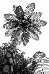 Ponga (J. Peter) Tags: newzealand botanic ponga ferntree