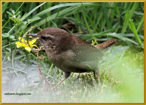 Wren Collecting Moss