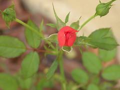 Mini rosa (fabriciopv) Tags: macro flor minirosa