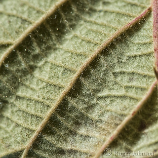 Leaf Ribs All In A row