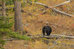 A walk in the woods (ChicagoBob46) Tags: blackbear bear boar yellowstone yellowstonenationalpark nature wildlife