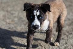 Husky Puppy (ddouangc) Tags: siberian husky huskies point isabel dog park dogs puppy