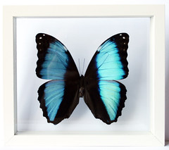 White and Blue Butterfly Art and Gift Morpho Deidamia (Ben the Butterfly Guy) Tags: blue framed morpho whiteandblue bluebutterfly butterfies morphobutterfly butterflypictures deidamia