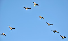 Ganzen in hun vlucht - Geese in their flight (RuudMorijn) Tags: blue sky birds azul fly geese vogels himmel aves cu ganzen formation bleu ciel cielo form vol ocho care lucht pssaros mavi eight blauwe opt oiseaux anseranser biru blauer langit vuelo gkyz bildung voando acht arbeiten vormen formao formatie gnse oies gansos vliegen formacin  huit oito albastru kular oluumu terbang vgeln fliegenden   uan sekiz   delapan   cerului  formasi burungburung     formarea zboar psrile