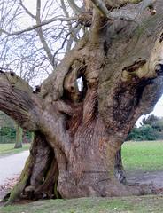 Magnificent tree (wonky knee) Tags: uk suffolk ipswich christchurchpark ancienttree spanishchestnut arbrecentenaire arbreancien arbreenorme altebaum grossebaum