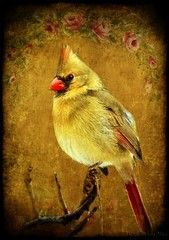 Female Northen Cardinal in texture (Nancy Violeta Velez) Tags: ohio texture photography virginia illinois interesting flickr indiana westvirginia songbird cardinaliscardinalis beautybeast redbird northcaroline ghostbones woodlots splatterpunk sqrphoto playingwithbrushes kentuchy tatot genuscardinalis sumanroychoudhury nancyvioletavelez 365workwithtextures sumansbirdsintexture inhabitedareassuchasbackyards shrubbyforestedges thestatebirdofsevenstates femalenorthencardinalintexture cardinaldesigns poembyhelgaross byjerryjones