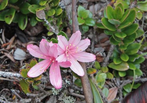 Bejaria imthurnii (Ericaceae)
