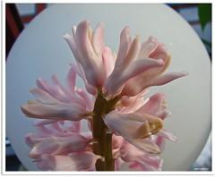 Hyazinthenrausch - high smell (Jorbasa Mwa) Tags: plant flower germany deutschland hessen blossom pflanze blume blte hyacinthus wetterau jorbasa spargelgewchs hyaninthe