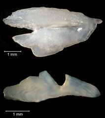 Hogfish Otolith (FWC Research) Tags: fish florida research otolith