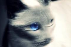 Fugaz (tatixtky) Tags: blue blackandwhite blancoynegro cat point eyes nikon siamese emilia gato gata felino 1855mm miau felina siamesa siams d3100