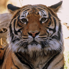 de frente (Imagen Fine Photography) Tags: square zoo tiger elpaso tigre ramonsanchez imagenfinephotography