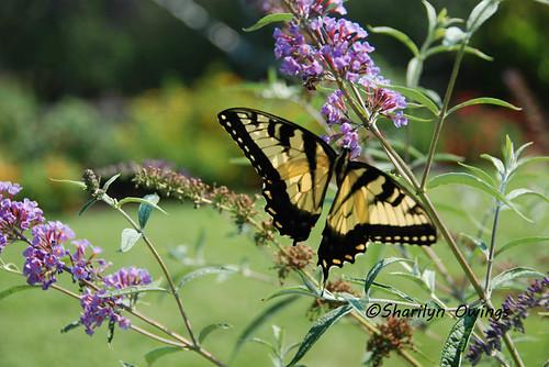 yellowbutterfly2
