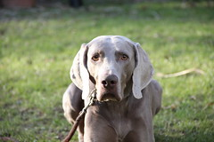 IMG_3930 (paraleptomys) Tags: shadow dog beautiful grey ghost grau hund weimaraner finn phantom weim