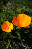 8921 (Panegyrics of Granovetter) Tags: flora poppies marinheadlands winterflowers rodeovalley sf88 nikesitesf88l chromaticspectacularexplosion